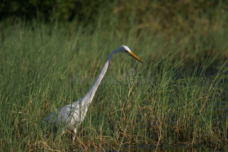 Caça branca do Egret para peixes nas regiões pantanosas foto de stock