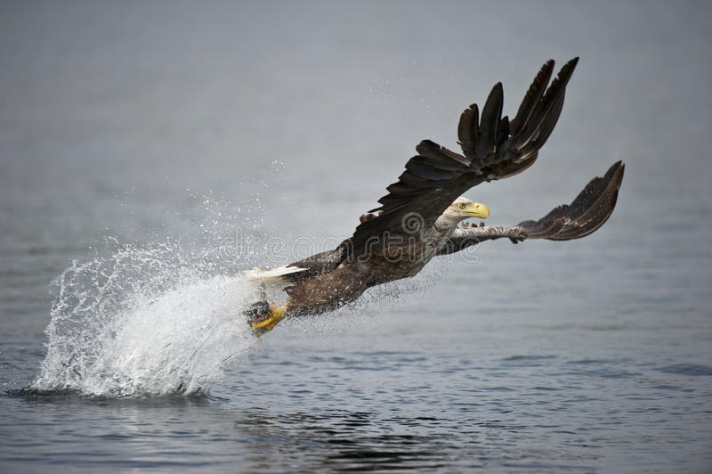 caça Branco-atada da águia. fotografia de stock royalty free