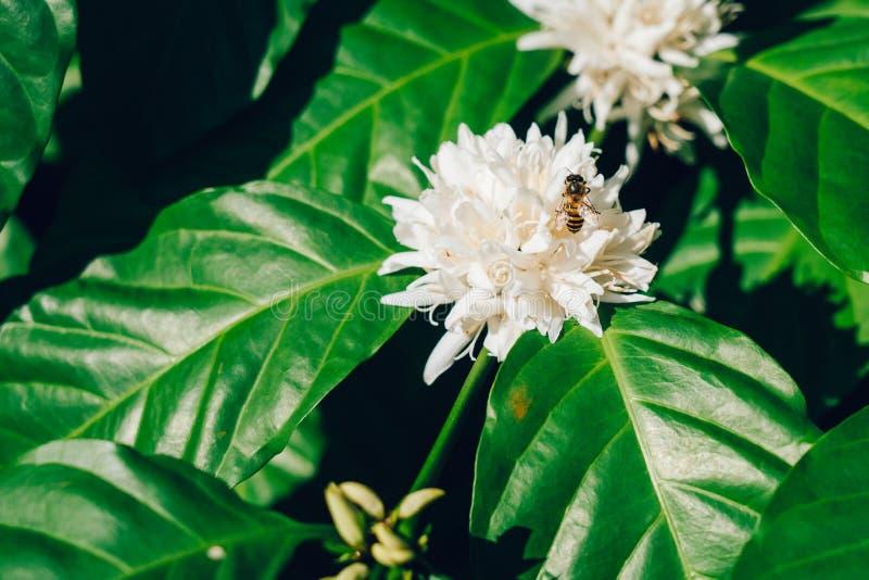 Caça da abelha para o néctar na flor do café fotos de stock