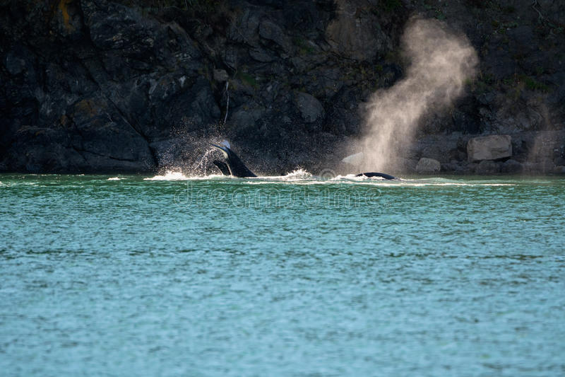 Caça das orcas fotos de stock royalty free