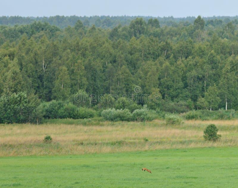 Caça de raposa vermelha fotos de stock