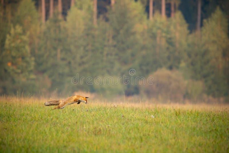 Caça de raposa vermelha em um prado com a floresta no fundo no outono fotografia de stock