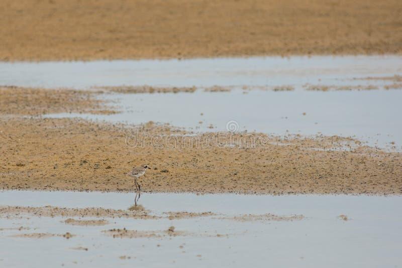 Caça do borrelho para o alimento em uma praia dourada da areia imagens de stock royalty free