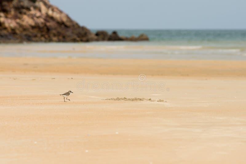 Caça do borrelho para o alimento em uma praia dourada da areia imagens de stock
