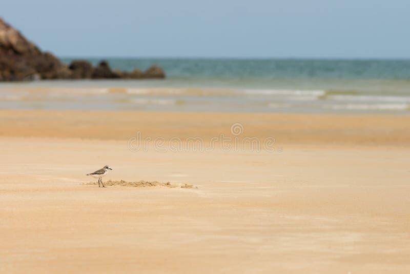 Caça do borrelho para o alimento em uma praia dourada da areia fotografia de stock