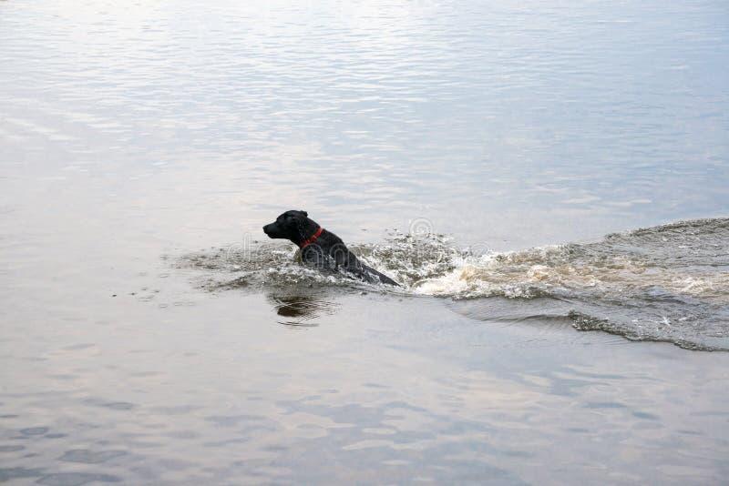 Caça do cão na água imagens de stock