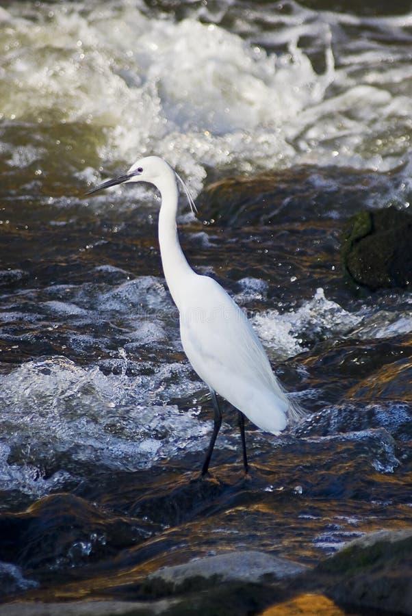 Caça do Egret pequeno fotografia de stock royalty free