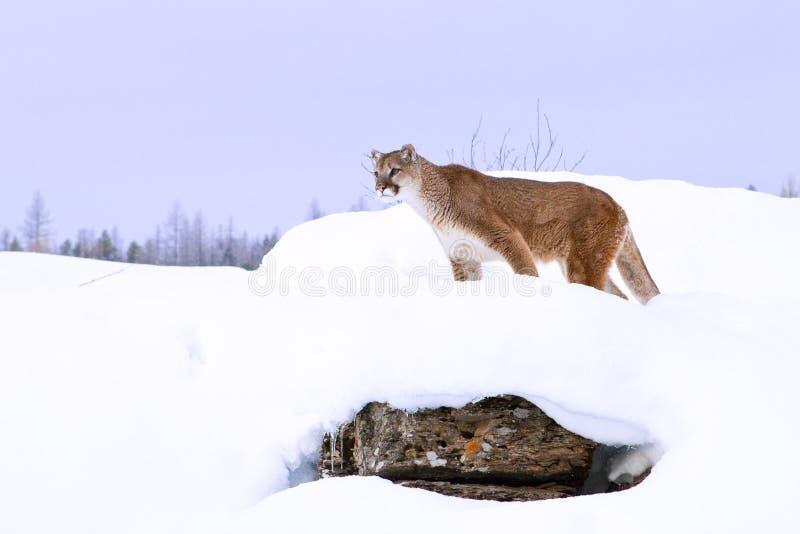 Caça do leão de montanha na neve profunda imagens de stock royalty free