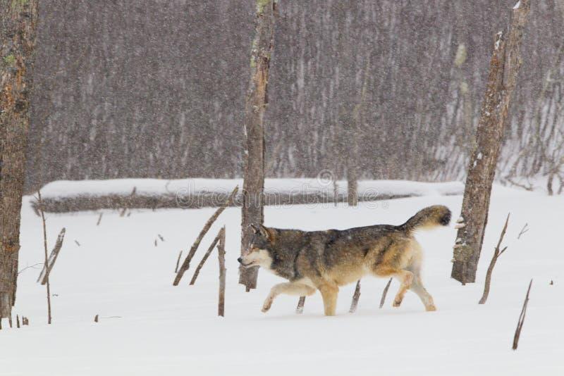 Caça do lobo na tempestade das nevadas fortes imagens de stock royalty free