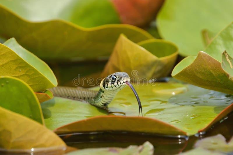 Caça do natrix do Natrix da serpente de grama nas folhas de lírios de água foto de stock