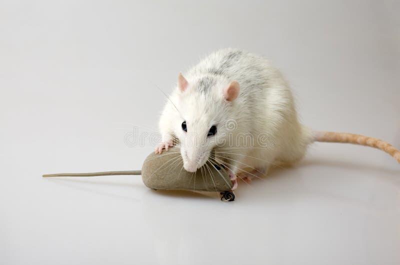 Caça dos ratos fotos de stock