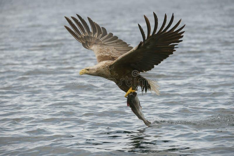Caça Eagle com captura fotografia de stock