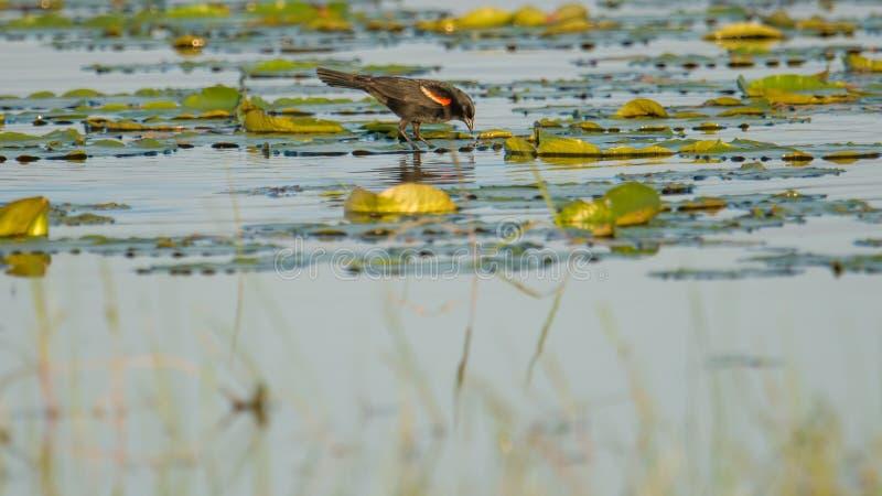 caça Vermelho-voada do melro/alimentação nas almofadas de lírio em um lago no verão - área dos animais selvagens dos prados do Cr fotos de stock royalty free