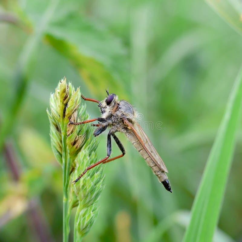 Caçador do inseto, rusticus de Machimus fotografia de stock