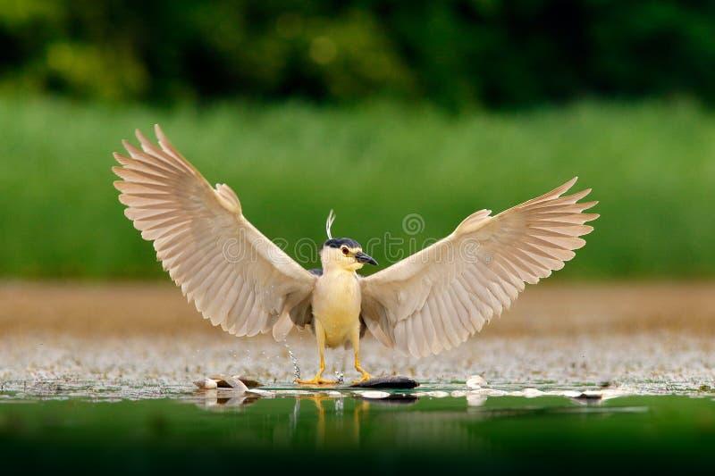 Caçador do pássaro do rio Garça-real de noite, nycticorax do Nycticorax, pássaro de água cinzento com asas abertas a água Animal  foto de stock royalty free
