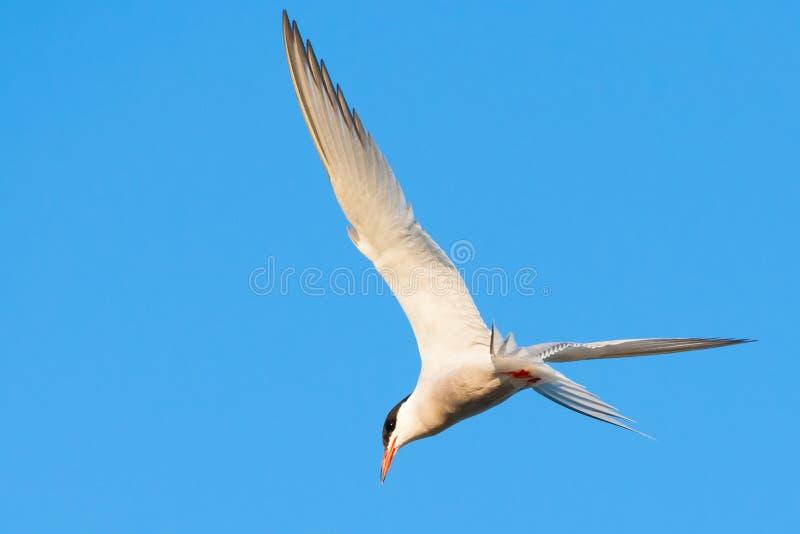 Caçando a andorinha-do-mar comum no céu azul fotografia de stock