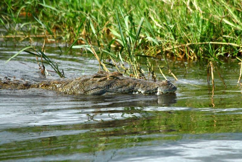 Caçando o crocodilo em um rio imagens de stock royalty free