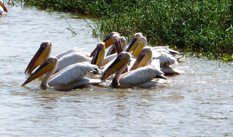 Caçando os pelicanos brancos no lago no santuário de pássaro nacional de Djoudj, Senegal imagem de stock