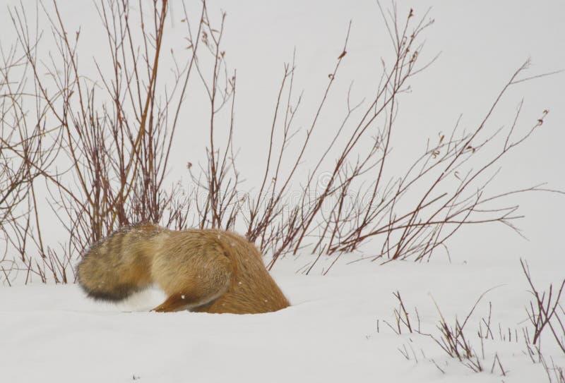 Caçando a raposa vermelha imagens de stock royalty free
