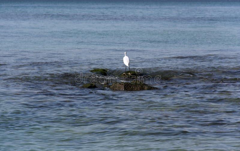 Caças da garça-real em pedras no mar imagens de stock