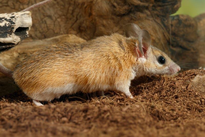 Caças do rato do close up no inseto imagem de stock
