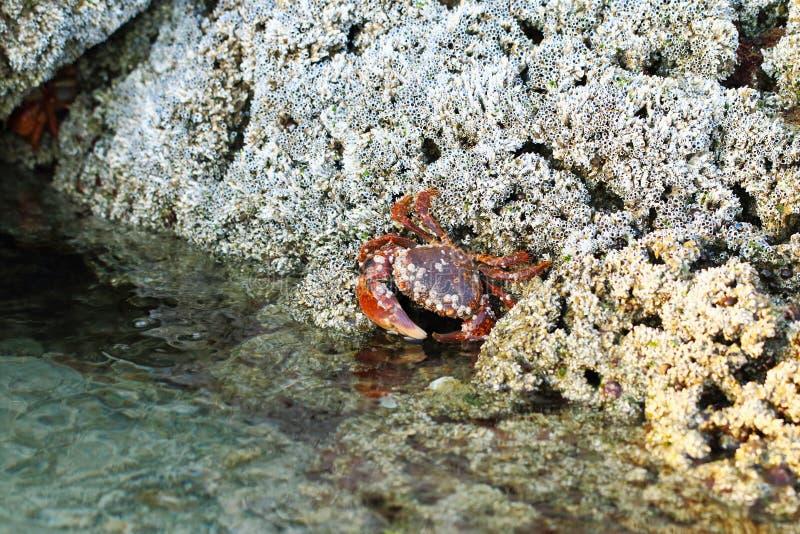 Caças vermelhas do caranguejo nos corais imagem de stock