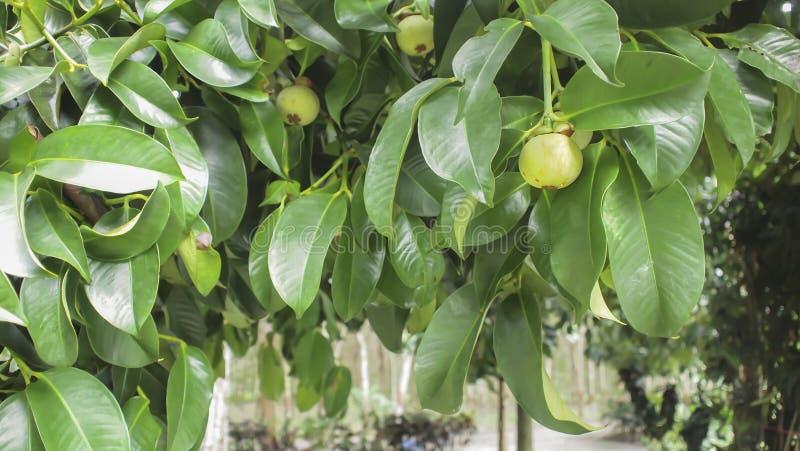 Caída de las frutas del mangostán en el árbol fotos de archivo