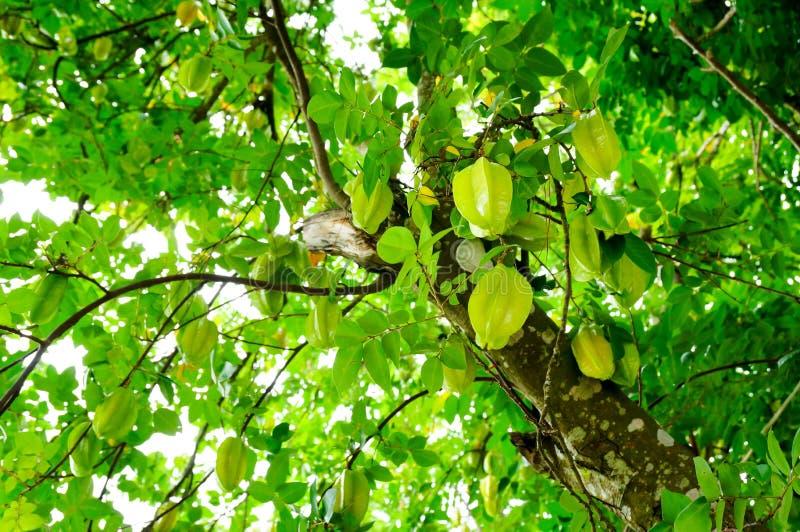 Caída de Starfruits en árbol imagen de archivo libre de regalías