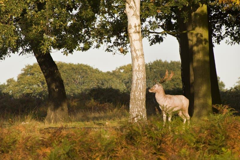 Caída del otoño de la estación de Rutting de los ciervos rojos imagen de archivo libre de regalías