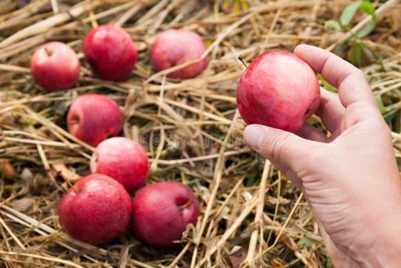 Ca?da roja de la manzana de la agricultura deliciosa del oto?o, comida de la fruta fresca, cosecha imagen de archivo libre de regalías