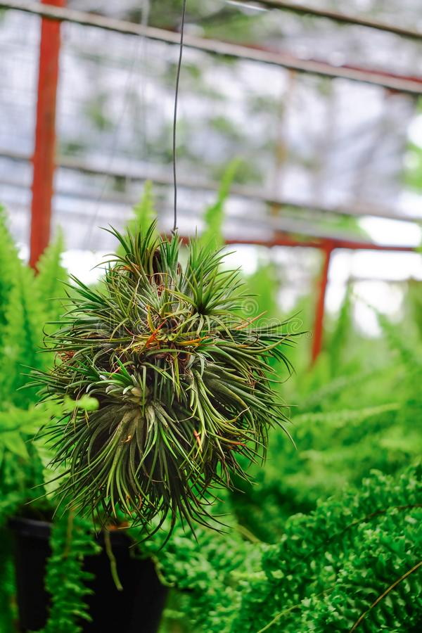 Caída verde de la bola de la bromelia del Tillandsia en la flor foto de archivo
