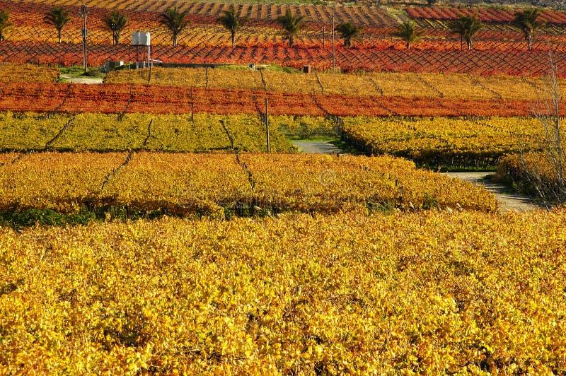 Caída Vineyards16 imagen de archivo libre de regalías