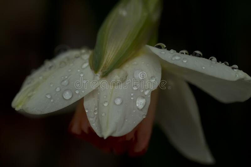 Caídas de lluvia en la flor daffodil imagen de archivo