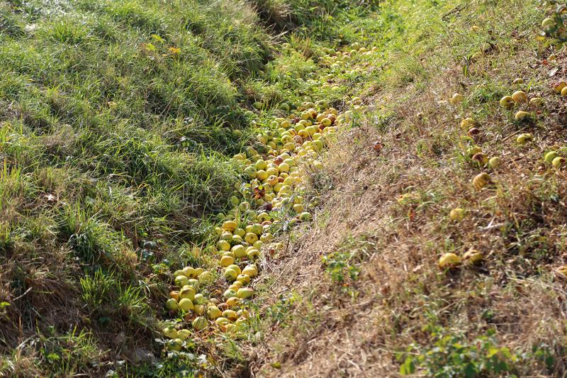 Caído das maçãs maduras da árvore encheu a vala imagem de stock royalty free