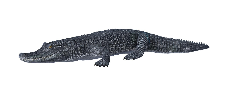 Caïman d'alligator sur le blanc illustration de vecteur