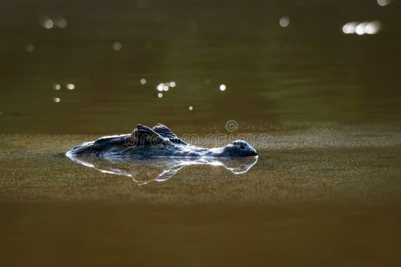Caïman noir dans l'eau photos stock