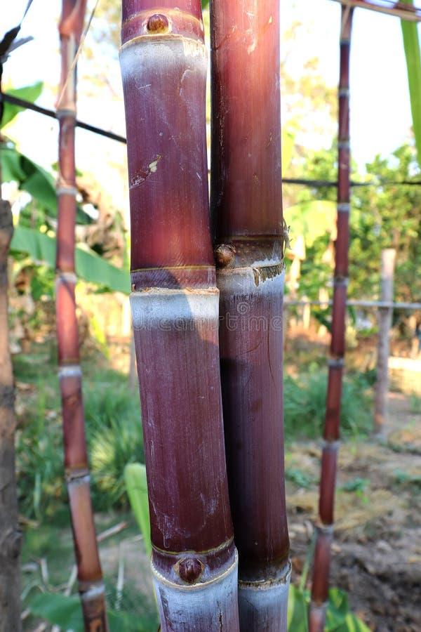 Caña de azúcar, bastón, pedazo fresco, caña de azúcar de la caña de azúcar en el fondo verde del bokeh de la naturaleza, agricult fotografía de archivo