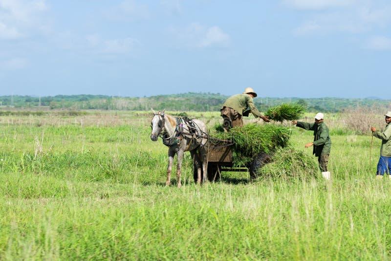 Caña de azúcar de la cosecha del granjero del gaucho de Cuba en el campo cerca de Varadero fotografía de archivo