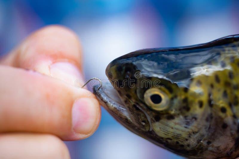 Caña para mosca y carrete con una trucha marrón de una corriente Trucha de los pescados en un gancho Sostener la trucha marrón Pe foto de archivo