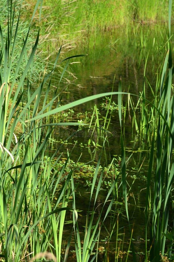 Cañas e hierba de la charca fotografía de archivo