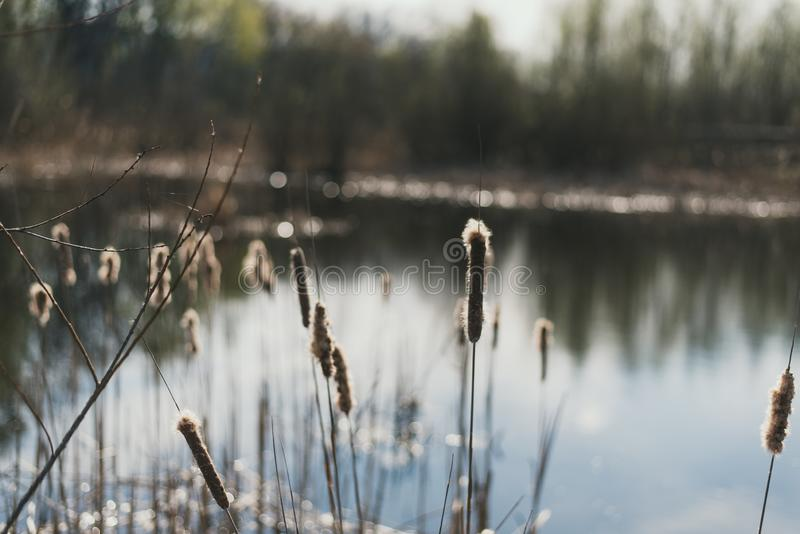 Cañas en el fondo del lago Cañas con el plumón en la primavera Fondo natural hermoso imagenes de archivo
