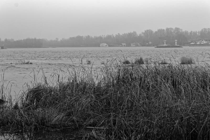 Cañas en el rive, fondo de ocsilación de Reed, imagen monocromática foto de archivo libre de regalías