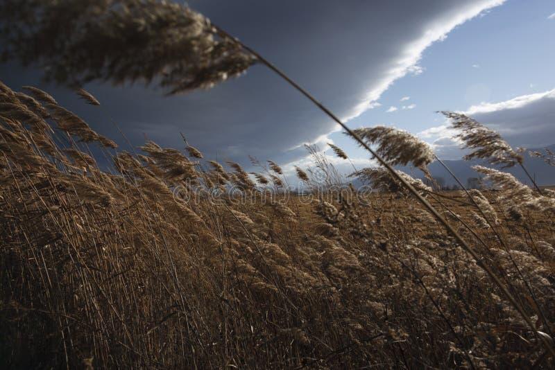 Cañas, espadaña, contra el cielo nublado Autumn Landscape imágenes de archivo libres de regalías