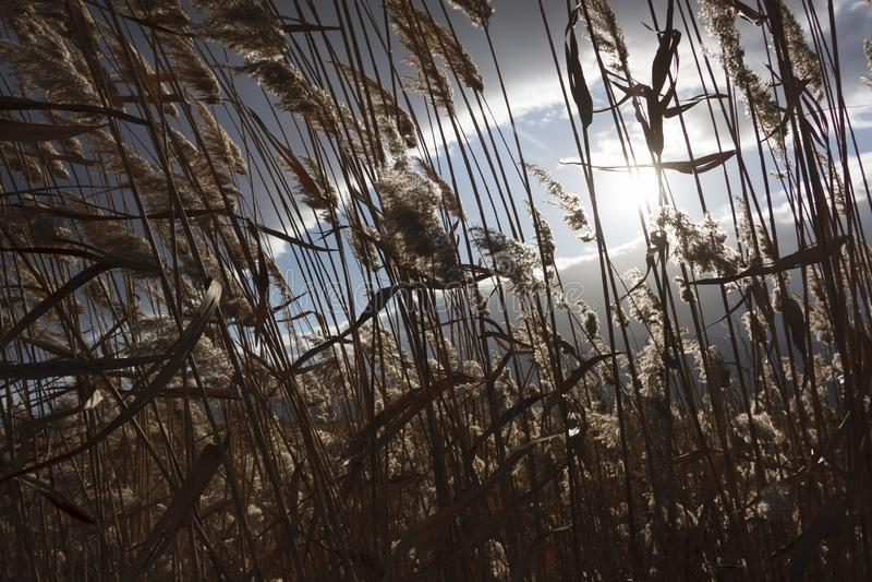 Cañas, espadaña, contra el cielo nublado Autumn Landscape imagen de archivo libre de regalías