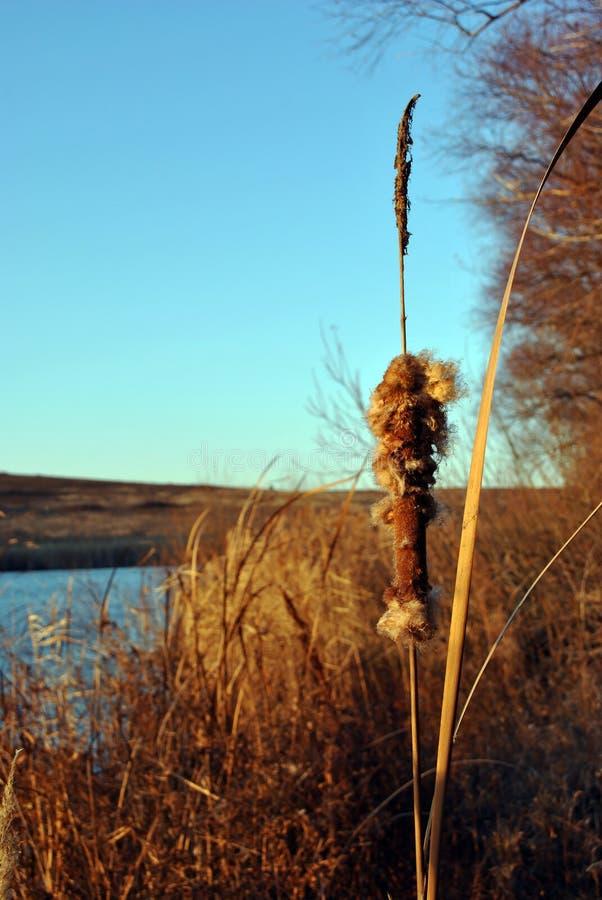 Cañas secas en la orilla del río cerca del sauce, fondo brillante del cielo azul imágenes de archivo libres de regalías