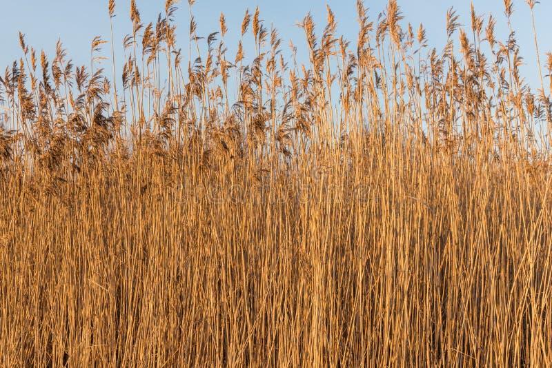 Cañas secas en un día de invierno imagen de archivo