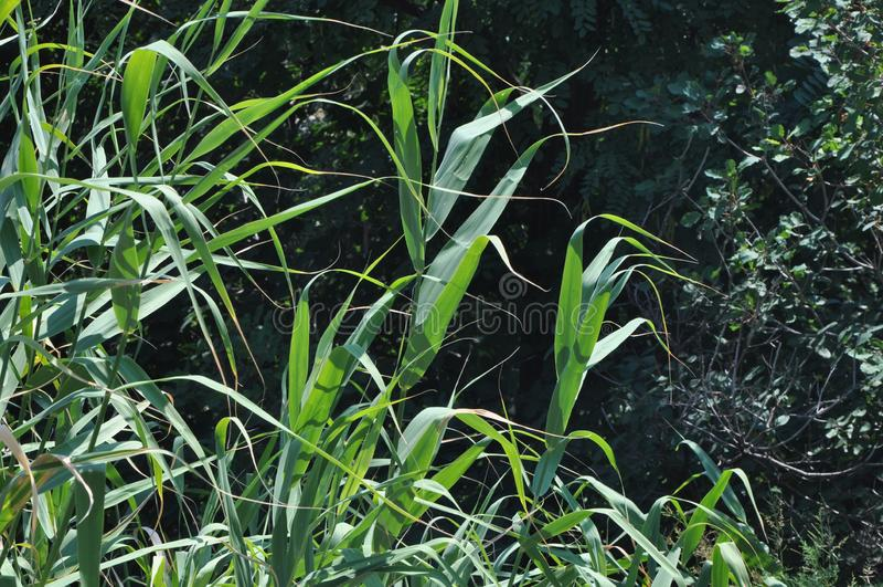 Cañas verdes contra árboles forestales más oscuros foto de archivo
