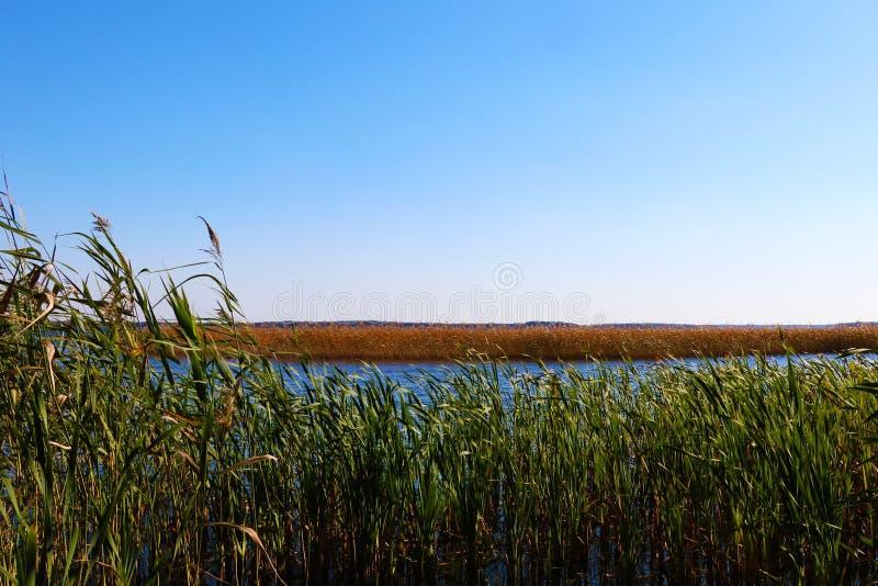 Cañas verdes jovenes en el río contra el sol en un día de verano fotografía de archivo libre de regalías