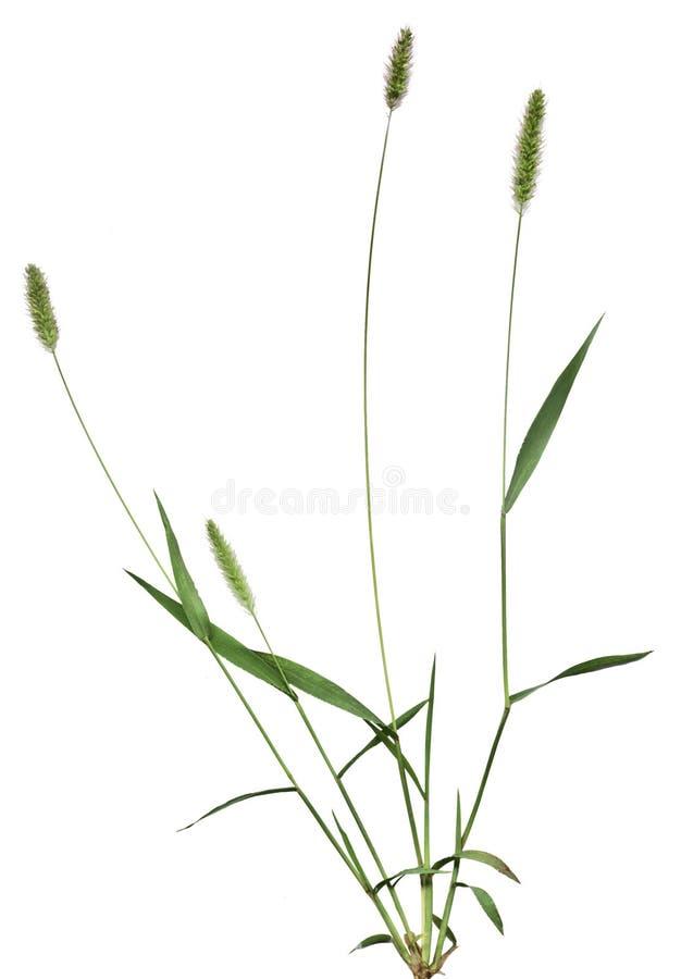 cała roślinnych trawy fotografia stock