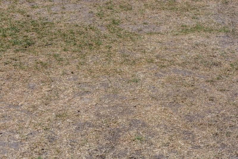 Całkowicie więdnący gazon jako rezultat długotrwałej suszy obrazy royalty free